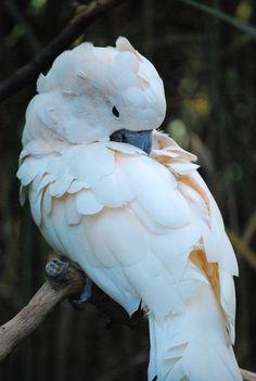 Moluccan Cockatoo by Juicebox77.deviantart.com
