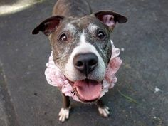~~SWEET 7 YR OLD GAL TO BE DESTROYED 6/26/14 ~~ Manhattan Center -P  My name is STORM. My Animal ID # is A1003752. I am a female br brindle and white pit bull mix. The shelter thinks I am about 7 YEARS old.  I came in the shelter as a OWNER SUR on 06/18/2014 from NY 10027, owner surrender reason stated was OWN EVICT.