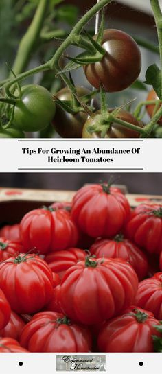 Tips For Growing An Abundance Of Heirloom Tomatoes