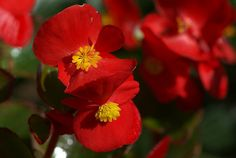 Begonia: Leaves, flowers and stems are edible: The petals have a tart citrus flavor and are often used in salads and garnishes, and stems can be used in place of rhubarb.