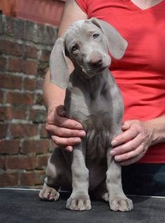 "Weimaraner puppy Hope you're doing well.From your friends at phoenix dog in home dog training""k9katelynn"" see more about Scottsdale dog training at k9katelynn.com! Pinterest with over 21,300 followers! Google plus with over 280,000 views! You tube with over 500 videos and 60,000 views!! LinkedIn over 10,100 associates! Proudly Serving the valley for 11 plus years now on instant gram! K9katelynn"