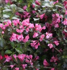 Weigela 'Minor Black' Types Of Soil, Landscaping Plants, Trees To Plant, Shrubs, Perennials, Pink Flowers, How To Look Better, Landscape, Florida