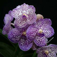 Vanda #orquidea #orchid #orchidee#ponyfony_flowers #ptk_flowers #quintaflower #igscflowers #paixoesporflores #ig_discover_petal #rainbow_petals #flower_special_vip #bns_lite #9vaga_strangeflowers9 #ip_blossoms #ip_connect #macro_turkey #bomdever_flower #inspiring_shot