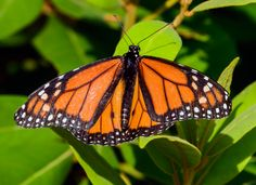 https://flic.kr/p/KixDgY | Monarch Butterfly on Display | A beautiful close-up of a Monarch Butterfly with wings out stretched on display.