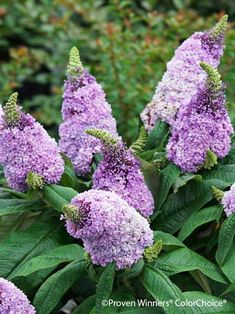 Flowering shrubs make a fitting addition to your perennial border and are truly easy to grow - even for beginning gardeners. House Landscape, Landscape Design, Lavender Flowers, Wild Flowers, Deer Resistant Perennials, Perennial Bulbs, Butterfly Bush, How To Attract Hummingbirds, Gardens