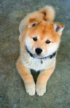 Fluffy Shiba Inu puppy. Saw one of these at a pet event and they are soooo cuuuuuute!!!!!!!!