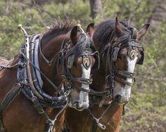 'Shire Brothers' by karenmorang Big Horses, Work Horses, Black Horses, Andalusian Horse, Friesian Horse, Arabian Horses, Palomino, Draft Horse Breeds, Draft Horses