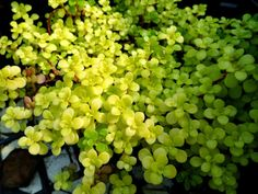 Sedum makinoi 'Ogon' - Golden Japanese Stonecrop is a tiny-leaved, spreading, ground cover Sedum that is noted for its bright gold foliage. Fall Plants, Garden Plants, Indoor Plants, Portland Garden, Sedum Plant, Plant Order, Leaf Coloring, Garden Types, Cactus Y Suculentas