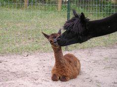 Alpaca and baby... <3