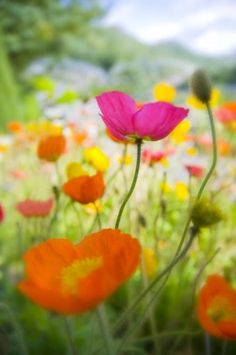 I lOve Poppies, especially orange one's with black centers. Iceland Poppies By Silke Magino Wild Flowers, Beautiful Flowers, Colorful Flowers, Spring Flowers, Wild Poppies, Poppy Flowers, Meadow Flowers, Icelandic Poppies, Belleza Natural