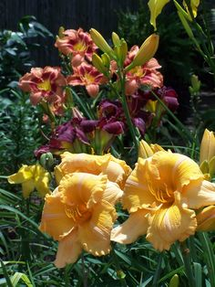 top right from back: H. 'Juanitas Picotee Delight', H. 'Beyond Thunderdome' and H. 'Orange Velvet'  -  www.agirlandhergarden.com