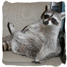 """had a pet raccoon ad a child, """"Racky""""....he chilled out like this and ate grapes"""