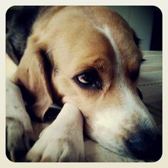 #sadness #beagleEdward #beagle #dog #love #friend #forever #mydog