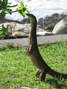 Australia - animal - lizard, goanna, picture by GeoWombats Cute Reptiles, Reptiles And Amphibians, Mammals, Animals And Pets, Cute Animals, Lizard Dragon, Colorful Snakes, Australia Animals, Darwin Australia