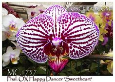 Phal. OX Happy Dancer 'Sweetheart' (P. OX Spot Queen x P. OX Little King)