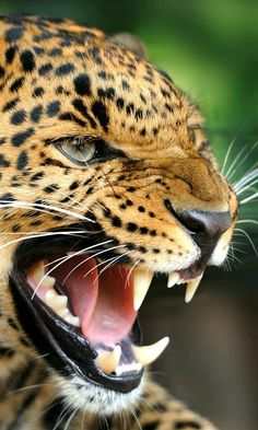 Look at that awesome leopard face! Look at that awesome leopard face! Nature Animals, Animals And Pets, Cute Animals, Wild Animals, Funny Animals, Beautiful Cats, Animals Beautiful, Wildlife Photography, Animal Photography