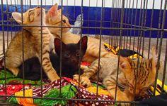 cat ailments: Clinic days at Trawangan http://catailments1.blogspot.com/2013/11/clinic-days-at-trawangan.html