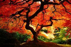 Autumn Japanese Maple.
