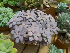 Graptopetalum pentandrum (Five Stamen Graptopetalum) is a succulent plant with up to 4 inches (10 cm) wide, flat, open rosettes at the...