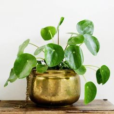 """4"""" Pilea Peperomioides - Chinese Money Plant"""