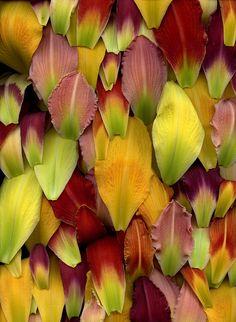 54505-01 Hemerocallis by horticultural art, via Flickr