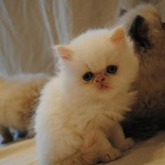 My baby Persian !