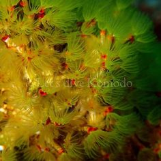 Feather duster worm #indonesia #flores #komodo #labuanbajo #feather #duster #worm #marine #creatures #texture #colors #vibrant #tube #coral #reef #rich #healthy #scuba #livetoscuba #scubadiving #underwaterphotography #olympus #instapic #instadive #instadaily #lovemyjob #lovemylife #nofilter