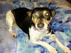 Rat Terrier - Molly - Small - Adult - Female - Dog