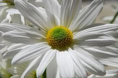 Da. Spend $25 receive a bonus one plant of your choice.  You can't imagine how is amazing this super big giant Daisies! I will ship to you cuttings or rooted plants, you will plant it water it and next fall you will get so beautiful flowers the same I have now!! HURRY UP! Now is the best time for planting!  Why you will enjoy this Cutting, because it: * Affordable price, shipping price, $0.00 for additional shipping plant * Giant beautiful flower, will be a center piece of you Garden…