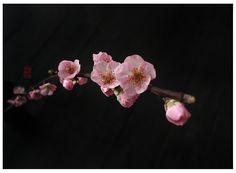 Sakura on Black  #sakura #blossom  by: 7e55e