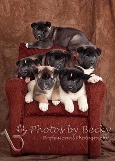 #Akita #Puppy #Dog. Can this be any cuter??