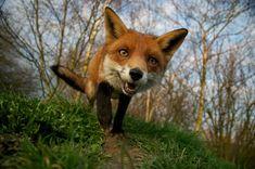 "funnywildlife: radoration: "" Red Fox by Matt Binstead (Vulpes vulpes) British Wildlife Centre, Lingfield, Surrey, England The British Wildlife Photography Awards 2011 "" Wild Life, Wildlife Photography, Animal Photography, Photography Awards, Animals Beautiful, Cute Animals, Wild Animals, Amazing Animal Pictures, Fox Pictures"