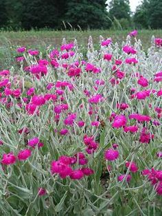 Lychnis coronaria Atrosanguinea Bright magenta flowers over felty, silver foliage. Great for sunny, dry areas. Flowers for ages, but can be short lived in a wet, cold winter. To 1.2m Hardy. At a glance Common Name Rose campion Type Hardy perennial Height 90cm to 1.2m Colour Pink Spread Rate Slow Flowering Mid Summer Pollination Attractive to pollinators Soil Type Dry, poor soil preferred