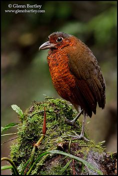 Giant Antpitta (Grallaria gigantea) perched on a branch near Tandayapa Valley of Ecuador. Birds In The Sky, Birds 2, Love Birds, Beautiful Birds, Pet Birds, Wild Birds, Tropical Birds, Colorful Birds, Saw Whet Owl