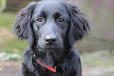 Flat Coated Retriever // My childhood companion was a flat coat. If a child was scared of her she'd lay down and very slowly crawl to them and wait by their side till they felt safe to pet her! When i'd cry she'd put her face against my chest and stay that way until i moved her myself. She gently retrieved an injured squirrel and brought it to me once (had no prior retrieving training). And she acted like a giant puppy till her last month on Earth - we we're both 16. BEST DOG EVER!