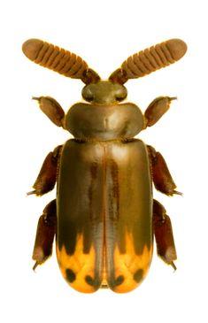 Cerapterus drescherus