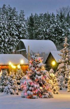 Christmas Trees On The Farm
