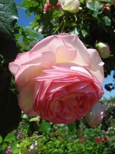 Rosa 'Pierre de Ronsard' AKA 'Eden Rose (France, before Beautiful Roses, Simply Beautiful, Eden Rose, Blooming Plants, Flower Photos, Garden Inspiration, Pink Roses, Bouquets, Gardening