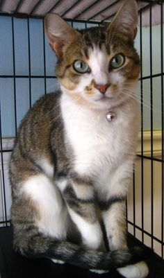 Meet Jasmine, a Domestic Short Hair Mix • Adult • Female • Medium size. UTD on vaccinations. Currently at Angel Pets Animal Welfare Society Inc. Colonia, NJ. For more info, click on Jasmine's picture to go to her PetFinder page,