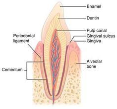 Tooth: Crown, Root, Enamel, Dentin, Pulp, Cementum, Periodontal Ligament, Bone