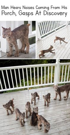 Mama Bobcat brings her cubs for a playdate. Look at them feet! Mama Bobcat brings her cubs for a playdate. Look at them feet! Cute Funny Animals, Funny Animal Pictures, Cute Baby Animals, Funny Cute, Animals And Pets, Cute Cats, Funny Cat Photos, Crazy Cat Lady, Crazy Cats