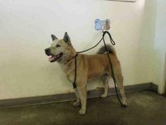 A1654077 - URGENT - CITY OF LOS ANGELES SOUTH LA ANIMAL SHELTER in Los Angeles, CA - Adult Male Jindo Mix