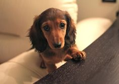 dachshund *-* this is the type of dog I want Dachshund Puppies, Dachshund Love, Wiener Dogs, Dachshunds, I Love Dogs, Cute Dogs, Animals Beautiful, Cute Animals, Long Haired Dachshund
