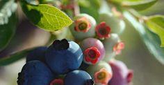 Os doces mirtilos são uma boa opção de frutos para quem tem um jardim em casa. A maior dificuldade para seu cultivo é dar-lhes um solo correto, já que eles requerem altos níveis ...