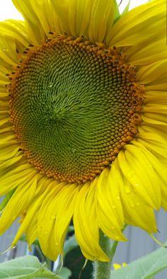 Sunflower raindrops Rain Drops, Sunflowers, Plants, Flora, Plant, Sunflower Seeds, Planting