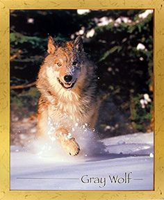 Bring nature indoors with this wild grey wolf running in snow field animal art print framed poster. It will delicately pop from any wall surface and have a soothing effect on your decor. Your guests will definitely compliment you for your excellent taste. Its wooden golden frame accentuates the poster mild tone. The frame is made from solid wood measuring 18x22 inches with a smooth gesso finish. This framed poster includes a wire hanger on the back for easy display.