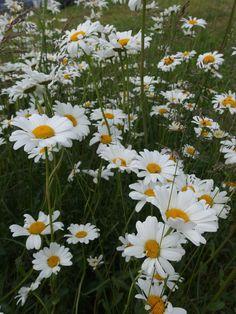 Päivänkakkara -Leucanthemum vulgare Finland, Wild Flowers, Scandinavian, Daisy, Scenery, Sparkle, Keto, Garden, Plants