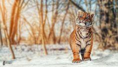 Tiger Cub - I'm big - www.fb.com/FotostyleSchindler