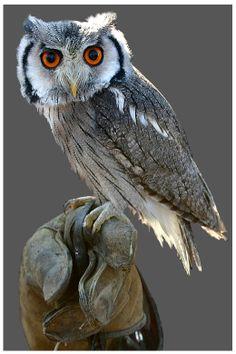 Hermione Owl Orange Kap. 63