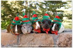 Guinea Pig Christmas Elves... MERRY CHRISTMAS! #MerryChristmas